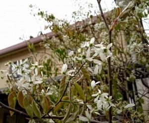 学園の「コロラド」前に咲くジューンベリーの花6月には黒紫の果実をつけます。